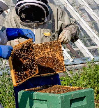 Der gang i arbejdet med at 'høste' honning. Foto:Fotolangeland