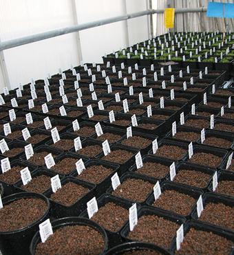 I sit laboratorium dyrker Jens Stougaards forskergruppe bælgplanten japansk kællingetand (Lotus japonicus).