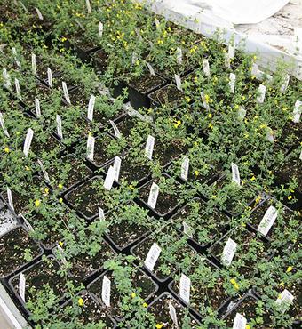 Over 4 måneder, udvikler planten sig til blomstring og frøsætning. De genetiske egenskaber kan derefter undersøges i næste generation.