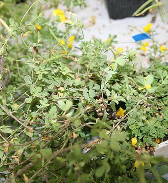 Planternes vækst viser hvor meget kvælstof der fixeres i rodknoldene.