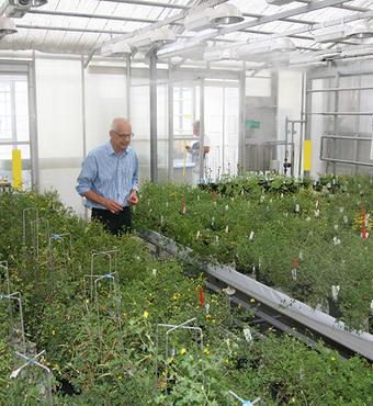 De mange planter bliver nøje fulgt for at se hvordan rodknoldene udvikler sig efter tilsætning af rhizobium bakterier.