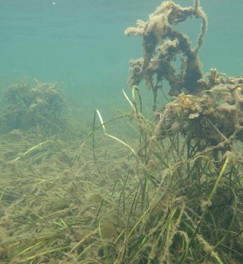 Collapse of eelgrass beds after oxygen depletion due to dirty sea weed - Photographer: Troels Lange