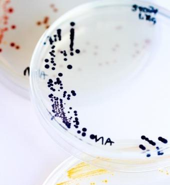 Pigmenterede Pseudoalteromonas bakterier