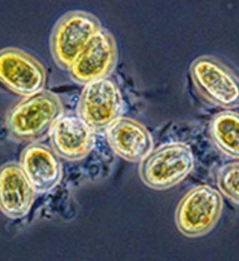 Roseobacter-bakterier koloniserer algen Tetraselmis