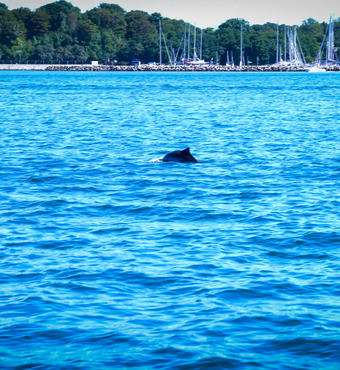Harbour porpoise overseeing the project