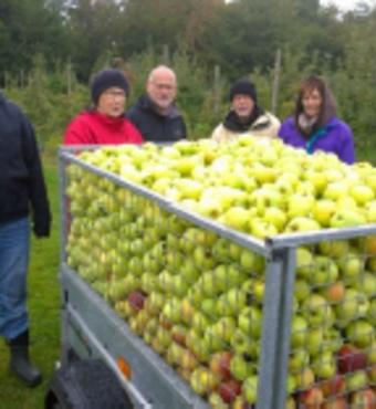 Aktive ældre har plukket æbler til mostning. Her ca. 550 kg. æbler