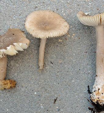 Amanita (agaric)